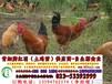 青海土鸡苗,青海土鸡苗市场,青海土鸡价格