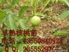 河池8518核桃苗,河池8518核桃苗批发,河池8518核桃苗价格