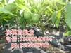 衡阳核桃树苗,衡阳核桃树苗基地,衡阳核桃树苗批发