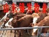 山东最大的肉牛犊养殖场。