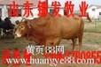 鲁西黄牛价格,鲁西黄牛多少钱一头?山东锦发牧业。