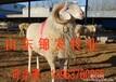 养小尾寒羊赚钱吗。