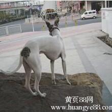 -重庆黑天鹅多少钱只/全国包邮图片
