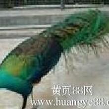 安顺非洲鸵鸟多少钱?哪里有出租萌宠的?图片