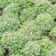 菊花种植的培育的技术知识