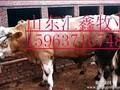 鲁西黄牛肉牛犊西门塔尔育肥小公牛夏洛莱架子牛图片