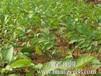 供应核桃树苗,山东核桃树苗价格