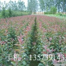 公司供应北美彩叶海棠海棠种子果树苗木