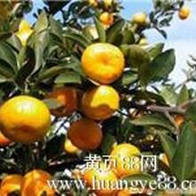 柑橘苗大量供应.1000棵包邮