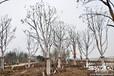 苏州地区上门收购香樟广玉兰等各种绿化风景树(绿化苗木)