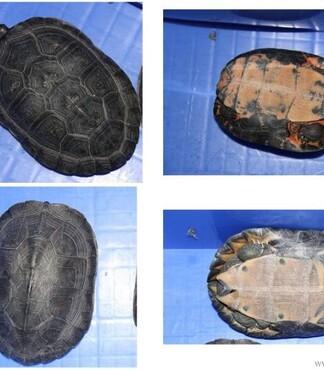 【出售一组黑颈龟_黑颈龟价格|图片】-黄页88网