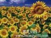 供应优质向日葵种子