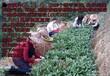 金骏眉红茶正山小种
