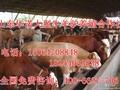西门塔尔改良肉牛育肥小公牛肉牛犊母牛架子牛图片