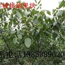 桃树核桃树樱桃树板栗树梨树生态园果树苗看铺起苗质量最高价格面议