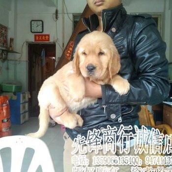 先锋伦伦人与动物电影_广州犬舍繁殖金毛幼犬出售,先锋宠物