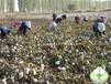 销售100%新疆长绒棉制作的手工棉被芯棉被褥
