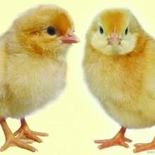 低价销售海兰褐雏鸡青年鸡成品鸡