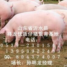 山东仔猪价格,山东仔猪,山东仔猪产地,三元仔猪,现在市场行情预测