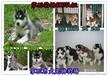 潮州哪里有卖宠物狗湘桥区有卖纯种宠物狗蓝眼睛哈士奇吗
