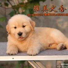 广州买狗狗到哪好广州雅美犬业是您最佳选择金毛犬有卖