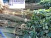 鄢陵扦插紫叶李小苗9毛提供