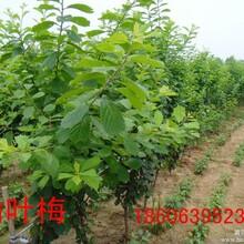 榆叶梅,美人梅,红梅,杏梅,绿梅
