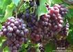 茶淀玫瑰香葡萄无公害食品