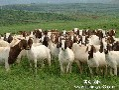 安徽哪里有卖养羊牧草种子的图片