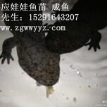2014年最新贵州娃娃鱼娃娃鱼种苗批发图片
