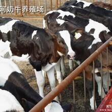 奶公牛养殖技术黑白花公牛育肥技术奶牛公牛养殖场