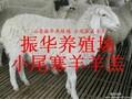 小牛犊牛苗肉牛价格图片