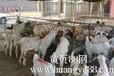 黄牛养殖黄牛出售黄牛繁育六合牛羊养殖场