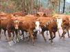 2013年夏洛莱牛价格山东颖兴牧业