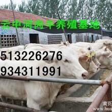 山西肉牛价格