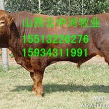 利木赞肉牛犊养殖价格
