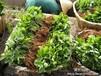 红灯笼草莓园批发优质脱毒一代法兰地红颜章姬草莓苗