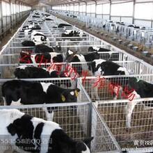 黑白花公牛养殖场小公牛价格