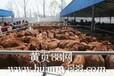 纯种小尾寒羊杂交小尾寒羊小尾寒羊出售六合牛羊养殖场
