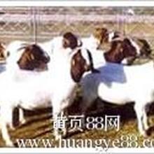 山东活羊价格咨询胜旺牧业