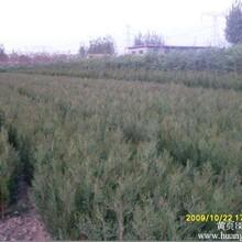 供应绿化苗木