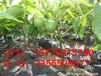 2013南充香玲嫁接核桃苗薄壳核桃苗种植核桃苗价格
