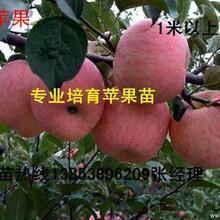 山东苹果苗#泰安苹果苗#最低价苹果苗#新品种苹果苗-山东苗木