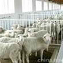 纯种波尔山羊小尾寒羊