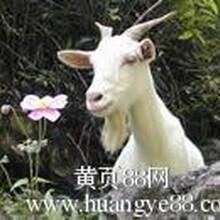 秸秆草粉养羊技术