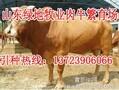 沙湾区养殖肉牛若干问题图片