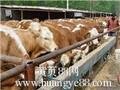 山西肉牛犊价格图片