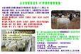 吉林长春适合养小尾羊吗九江养殖小尾寒羊的利润