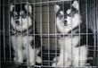 高品质赛级直系红色阿拉斯加雪橇犬幼犬诚信直销