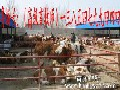 西门塔尔牛,鲁西黄牛,夏洛莱牛,肉牛品种,养牛,架子牛,肉牛犊,小牛犊,小公牛,牛犊价格,小牛多少钱一头图片